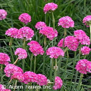 ARMERIA MAR SPLENDENS
