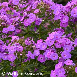 PHLOX PAN COVER GIRL