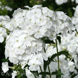 PHLOX PAN PEACOCK WHITE