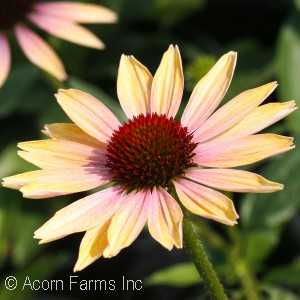 ECHINACEA EVENING GLOW