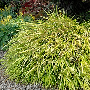 HAKONECHLOA MAC ALL GOLD