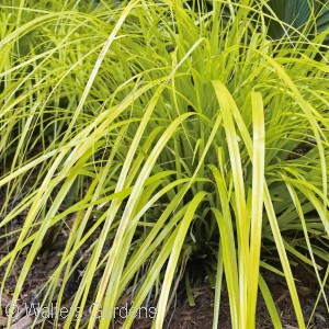 CAREX OSH EVERILLO