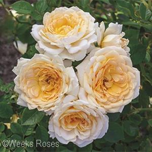 ROSA EDITHS DARLING SHR