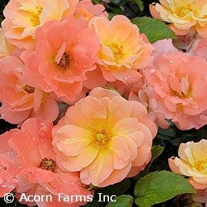 ROSA DRIFT APRICOT GC