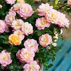 ROSA DRIFT PEACH GC