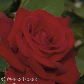 ROSA DROP DEAD RED FL