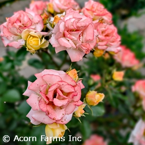 ROSA DRIFT PINK GC