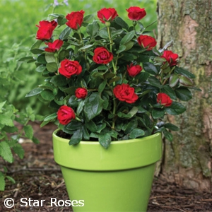 ROSA KNOCK OUT PETITE MINI