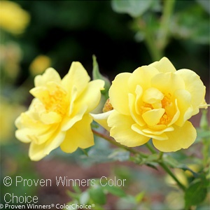 ROSA OSO EASY LEMON ZEST SHR