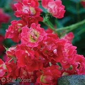 ROSA DRIFT RED GC