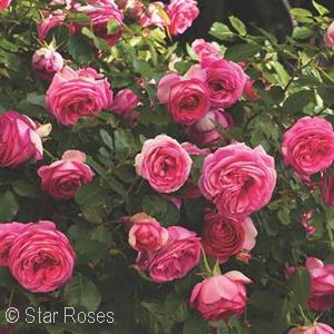 ROSA PRETTY IN PINK EDEN CL