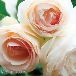 ROSA WHITE EDEN CL