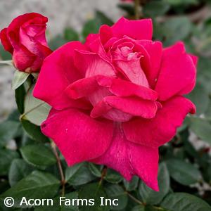 ROSA SWEET SPIRIT GR