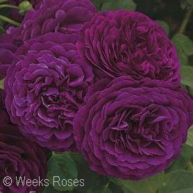ROSA TWILIGHT ZONE GR