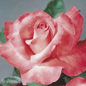 ROSA TOUCH OF CLASS HT
