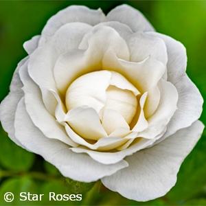 ROSA VERANDA WHITE SHR