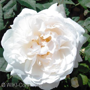 ROSA WINCHESTER CATHEDRAL SHR