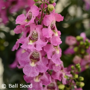 ANGELONIA ARCHANGEL PINK