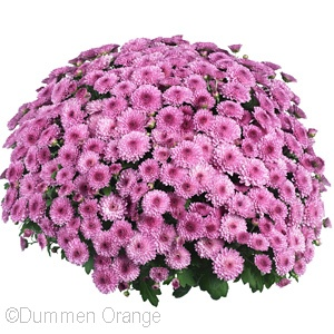 CHRYSANTHEMUM LEAGUE PINK