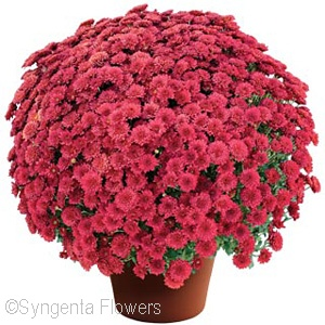 CHRYSANTHEMUM ASHLEY RED