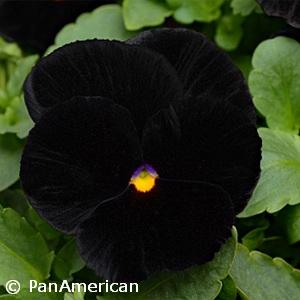 PANSY HALLOWEEN BLACK