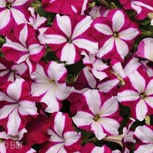 PETUNIA EASY WAVE BURGNDY STAR