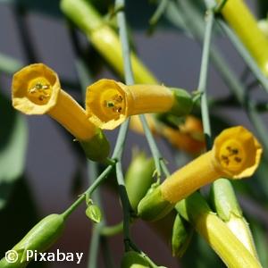 PHLOX INTENSIA WHITE