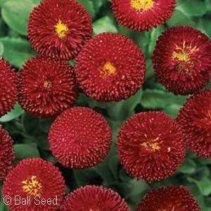 BELLIS BELLISSIMA RED