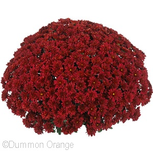 CHRYSANTHEMUM CHEER RED