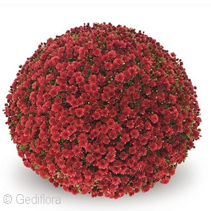 CHRYSANTHEMUM JASODA RED