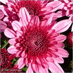CHRYSANTHEMUM AVALON PINK