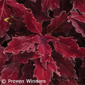 COLEUS CHERRY BRANDY