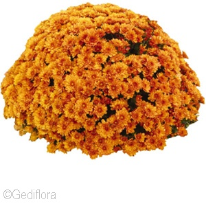 CHRYSANTHEMUM CRUSH ORANGE