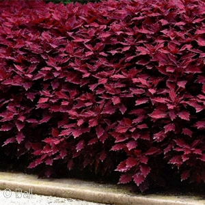 COLEUS FLAMETHROW SALSA ROJA