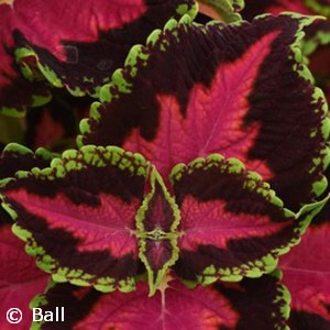 COLEUS REDICULOUS