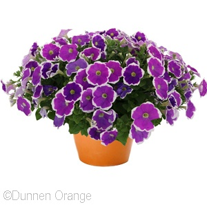 PETUNIA SURPRISE AMETHYST HALO