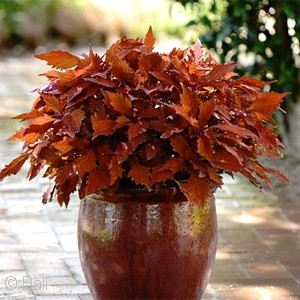 COLEUS FLAMETHROW HABANERO