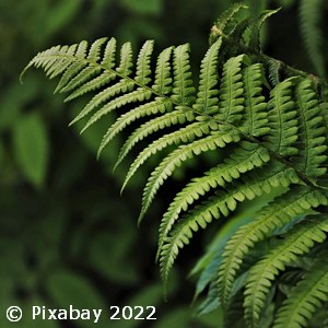 FERN EMERALD QUEEN