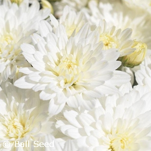 CHRYSANTHEMUM BRIDAL WHITE