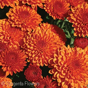 CHRYSANTHEMUM HAILEY ORANGE