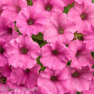 SUPERTUNIA MINI VISTA HOT PINK