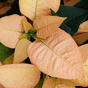 POINSETTIA AUTUMN LEAVES