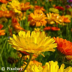 CALENDULA ASSORTED