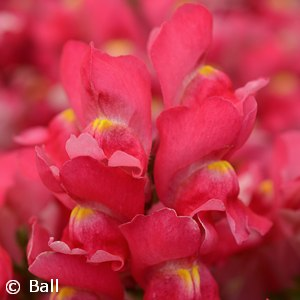 SNAPDRAGON ROSE