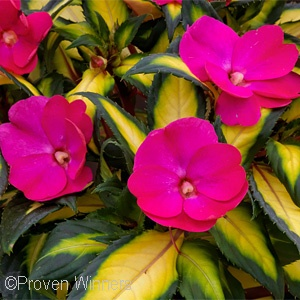 SUNPATIENS TROPICAL ROSE