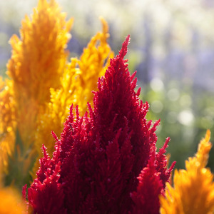 CELOSIA ASSORTED