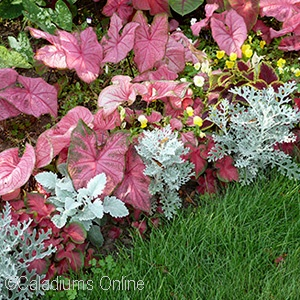 CALADIUM ASSORTED