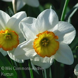 DAFFODIL FLOWER RECORD WHT RED