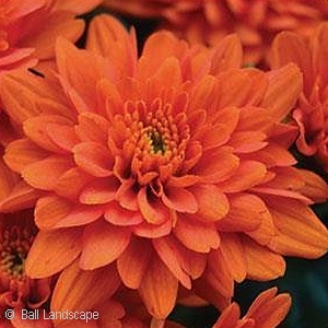 CHRYSANTHEMUM ORANGE ZEST