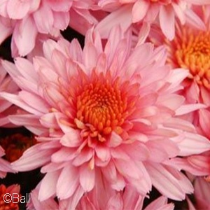 CHRYSANTHEMUM PERFECTLY PINK
